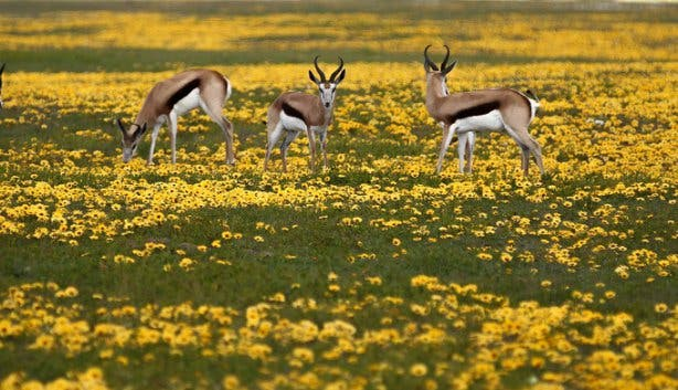 Springbok at Thali Thali Game Lodge West Coast