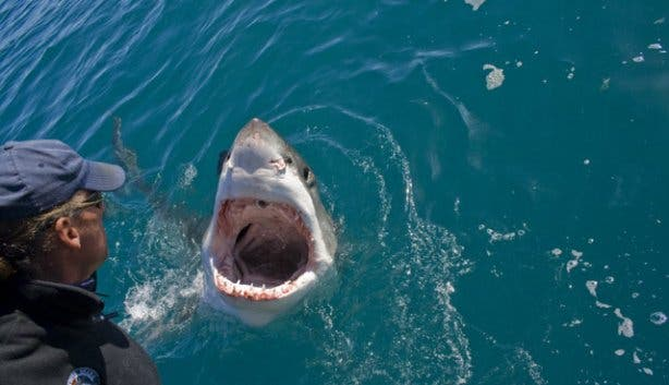 Great White Shark Cage Diving Cape Town