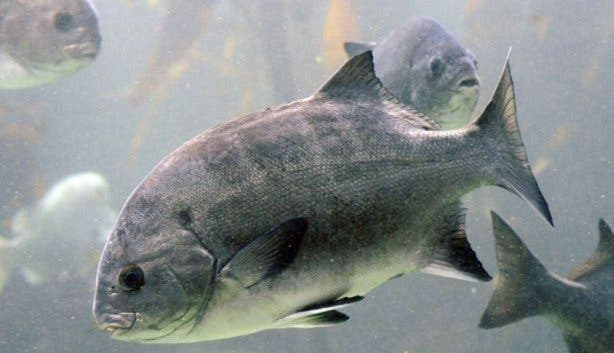 Black Galjoen Nationalfish South Africa