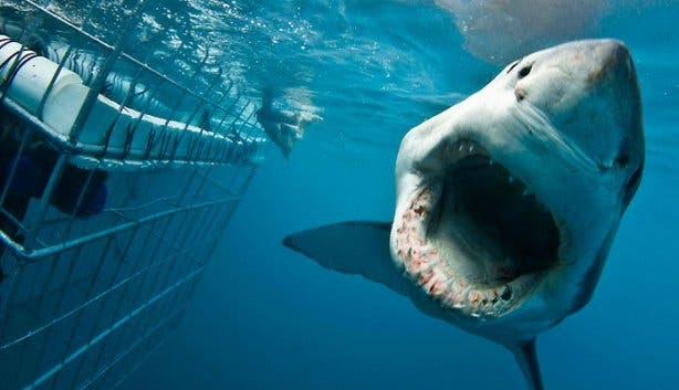 Shark Cage Diving GW Cage Open