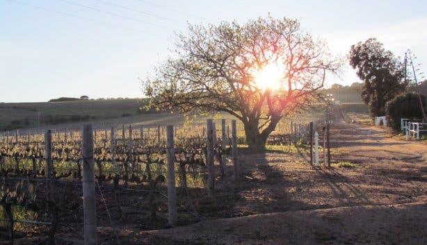 Vines at Saxenburg Wine Estate Stellenbosch
