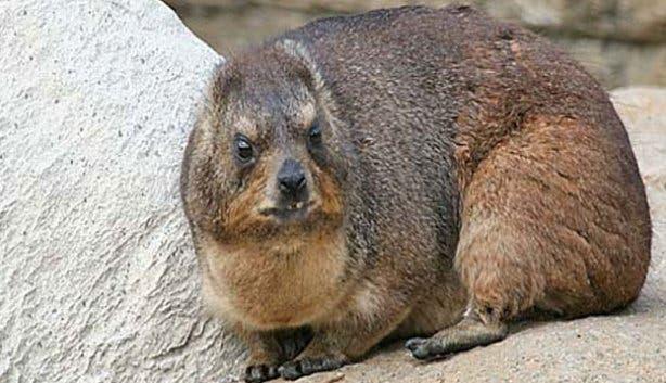 Fat Dassie