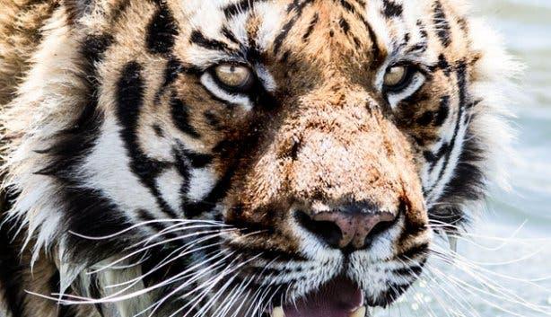 Tiger at Drakenstein Lion Park