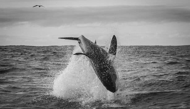 WSDC Shark Breaching 2