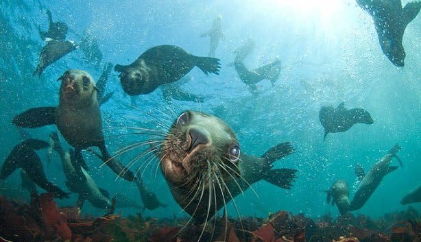 seal snorkeling colony 2