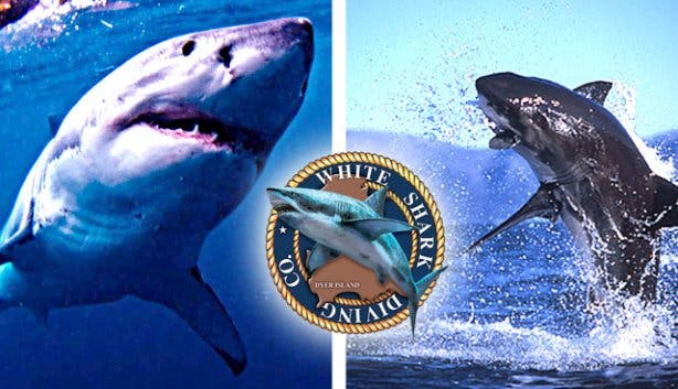 Sharks Breaching