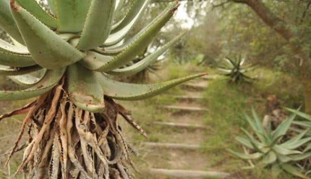 Aloe ridden trail in Bontebok National Park