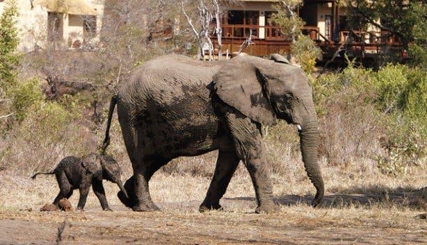 Madiba - Elephant