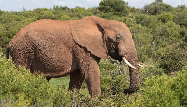 Garden Route Elefant