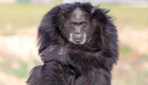 Chimpanzee at Drakenstein Lion Park