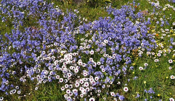 West Coast National Park Blue and White Flowers