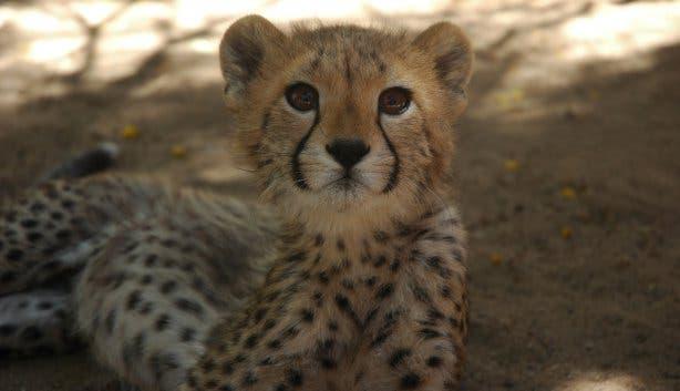 Cango Wildlife Cheetah Oudtshoorn