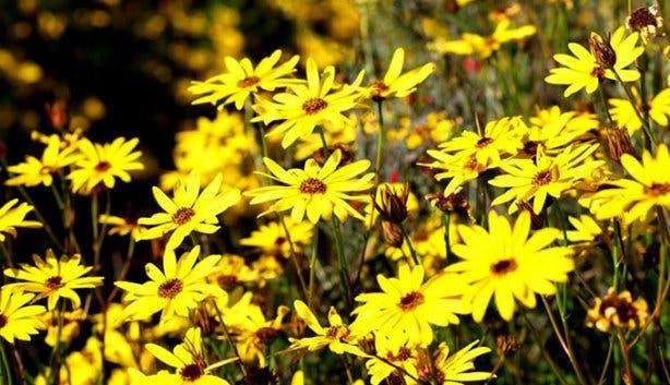 Namaqualand Flower Festival