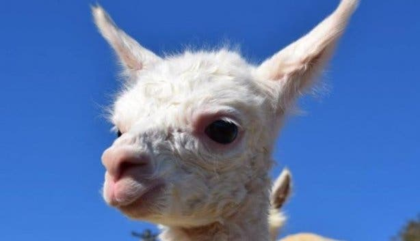 free_kids_alpaca_loom