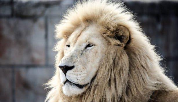 Vredenheim Lion
