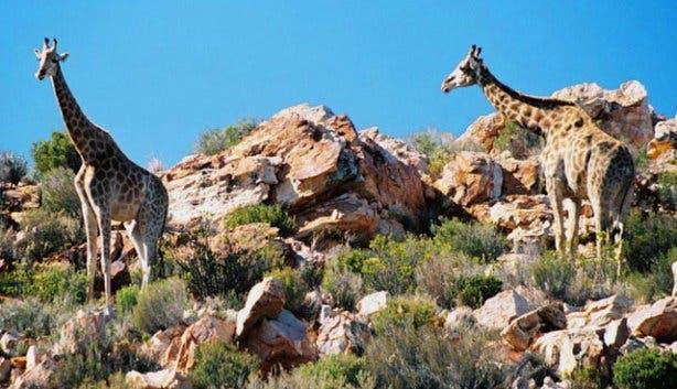 Giraffe Aquila Game Reserve