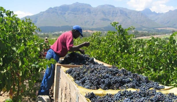 Grape Picking at Kleine Zalze
