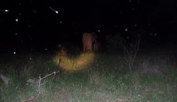 Elefantenkuh und Mücken Krügerpark