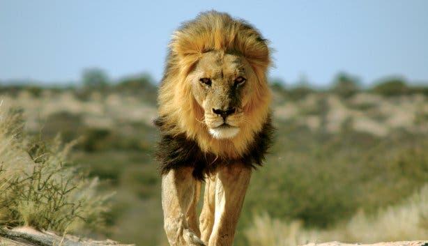 Madiba - lion