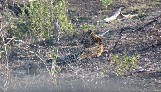 Leopard im Krügerpark