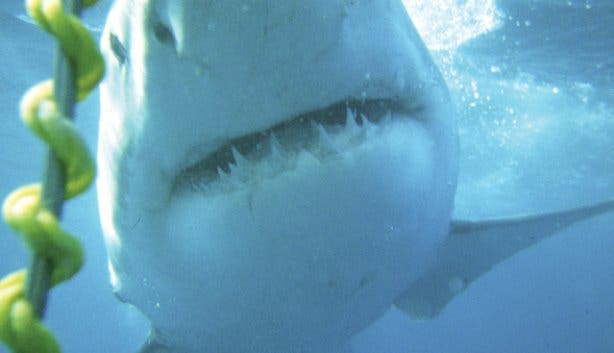 Picture of Great White Shark