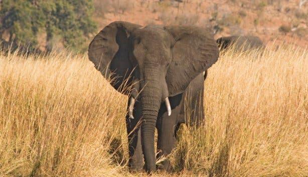 Madiba Elephant