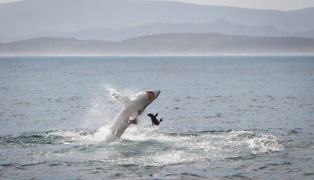 great white shark breaching tours