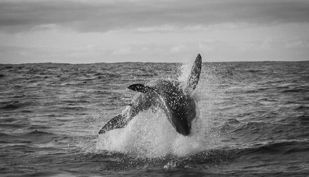 WSDC Shark Breaching