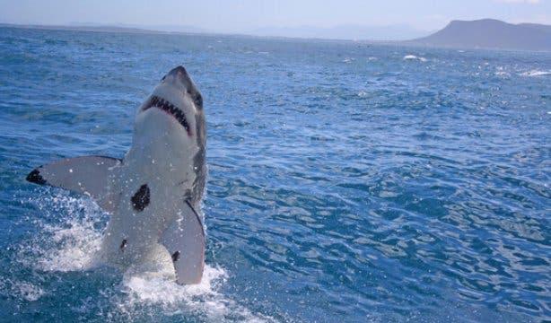 shark 22