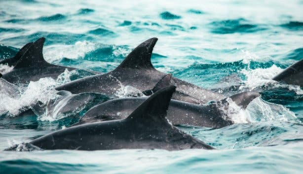 dolphin-super-pod