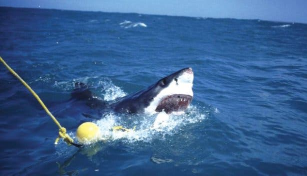Baiting sharks for shark cage diving