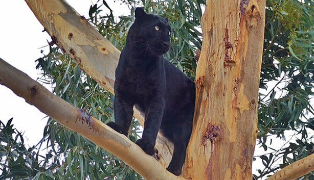 Black Leopard at Panthera Africa Lion Sanctuary Stanford