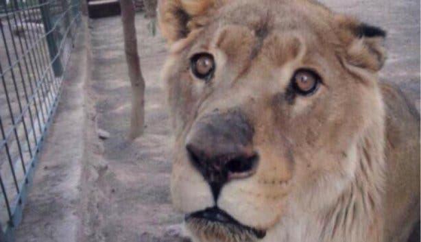 Geredde leeuw Maxine