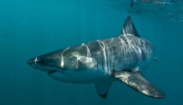 sharklady7a
