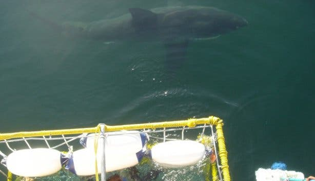 Swimming with Great White Sharks False Bay