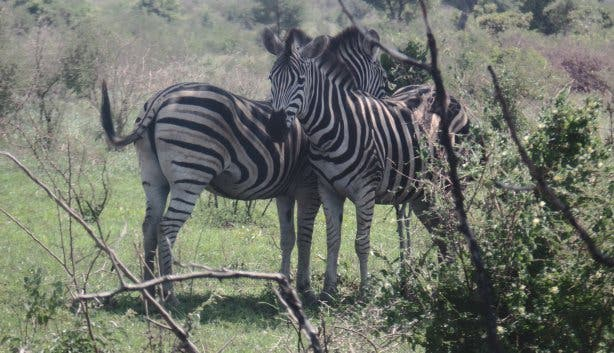 Zebras im Krüger Park