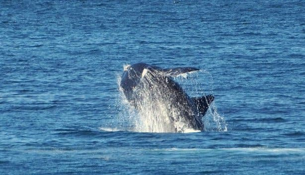 Kayaking whales Ninih