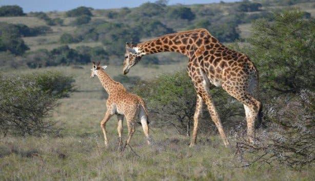 safari lindy s