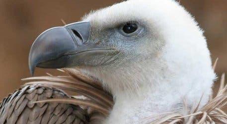 eaglea