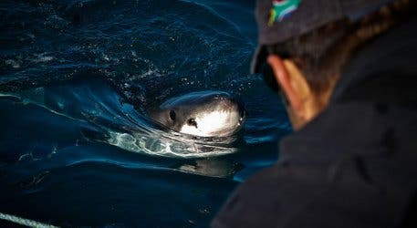 Volunteer To Join a Research Team To See The Great White Shark (Watch)