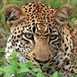 Madiba - luipaard