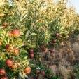 Tru-Cape apples