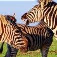 AGetaways Garden Route Tour Zebra