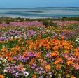 Wild flowers Langebaan coast