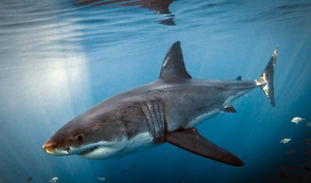 Great White Shark Cage Diving with White Shark Diving Co  in