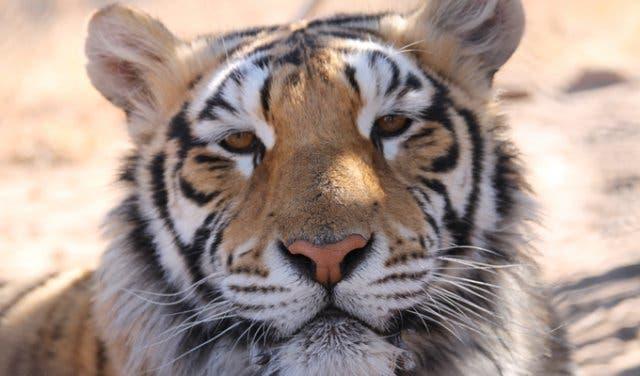 Tiger at Panthera Africa Big Cat Sanctuary Cape Town