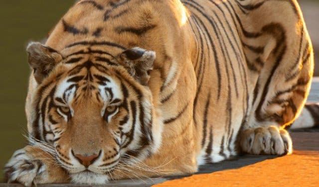 See 3 Species of Big Cat With The Big Cats Experience at