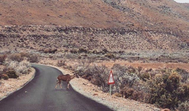 Karoo_outback_buck