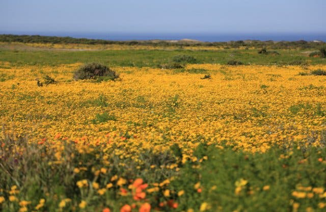 Wild flower shows 2018 viewing the spring flowers in the cape can i make a weekend of spring flower viewing mightylinksfo
