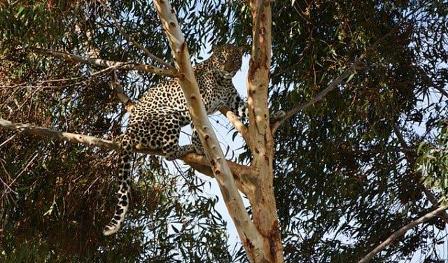 Leopard at Panthera Africa Lion Sanctuary Cape Town